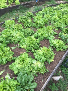 Fresh lettuce from Bellview Produce grown off Gower Road in Bellevue.