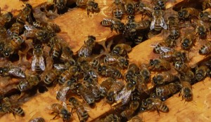 Local honey bees at Buffalo Road Produce